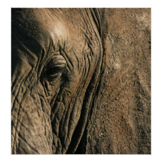 Close-up photo of African elephant eye Poster