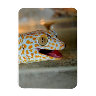 Close up portrait of Tokay gecko in TulaZoo