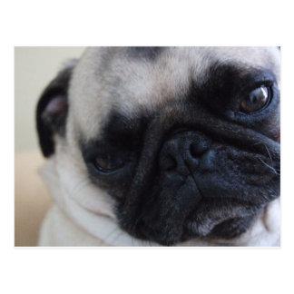Close-Up Pug Postcard
