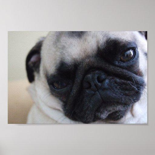 Close-up Pug Poster
