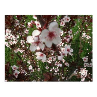 Close-up Sand cherry Tree Cards