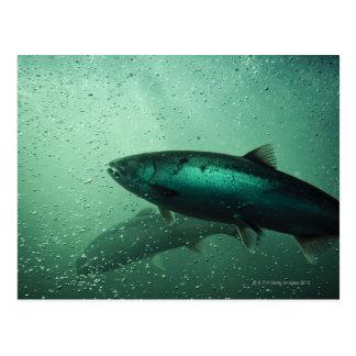 Close up shot of salmon running 2 postcard