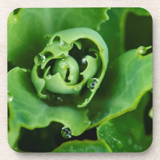 Close-up, succulent plant with water droplets coaster