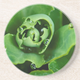 Close-up, succulent plant with water droplets sandstone coaster