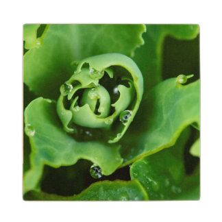 Close-up, succulent plant with water droplets wood coaster