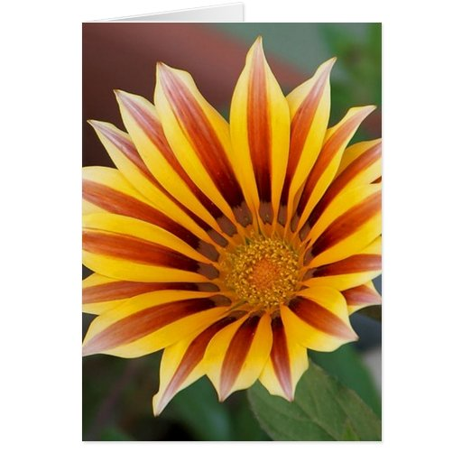 Close Up Tiger Gazania in Red, Gold and Green Card