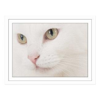 Close up Turkish angora Postcard