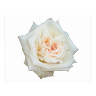 Close Up View Of A Beautiful White Rose Isolated Postcard