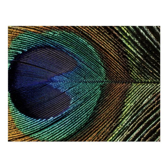 Close up view of eyespot on male peacock feather postcard
