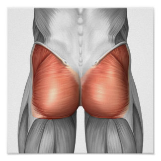 Close-Up View Of Human Gluteal Muscles Posters