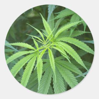 Close-Up View Of Marijuana Plant, Malkerns Classic Round Sticker