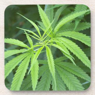Close-Up View Of Marijuana Plant, Malkerns Drink Coaster