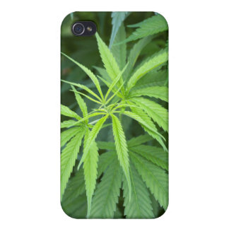 Close-Up View Of Marijuana Plant, Malkerns iPhone 4 Cover