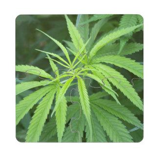 Close-Up View Of Marijuana Plant, Malkerns Puzzle Coaster