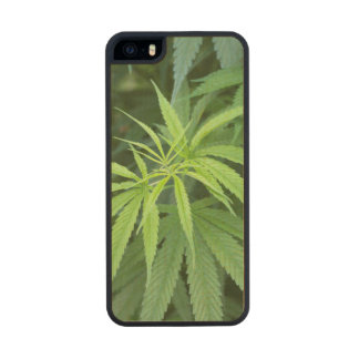 Close-Up View Of Marijuana Plant, Malkerns Wood Phone Case For iPhone SE/5/5s