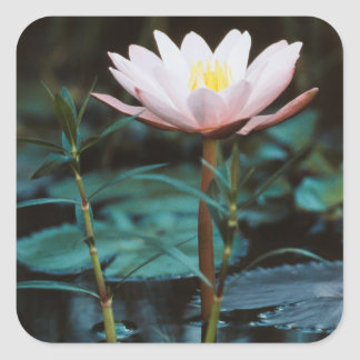 Close-Up view of Water Lily at Inle Lake Square Stickers