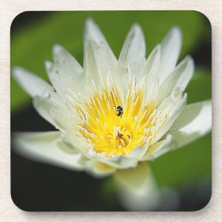 Close-up White Water Lily Flower and Bee 2 Drink Coaster