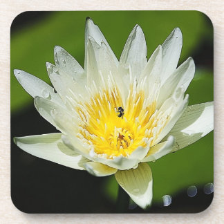 Close-up White Water Lily Flower and Bee Coasters