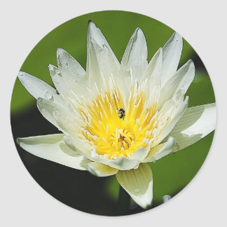 Close-up White Water Lily Flower and Bee Stickers
