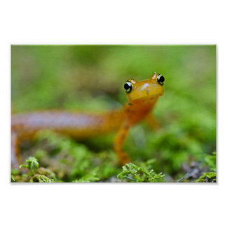 Close view of longtail salamander face poster