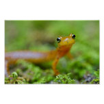 Close view of longtail salamander face posters