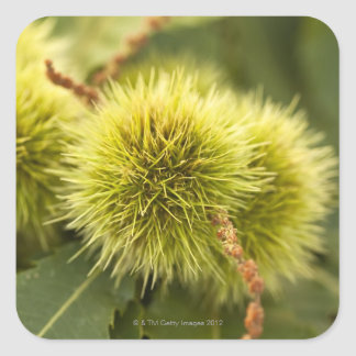closed chestnuts on tree square sticker