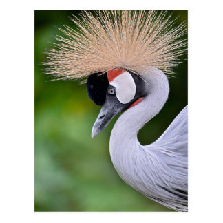Closeup Black Crowned Crane Postcard