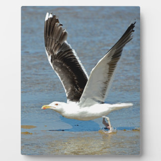 Closeup Great Black-backed Gull in flight Display Plaques