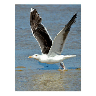 Closeup Great Black-backed Gull in flight Postcards