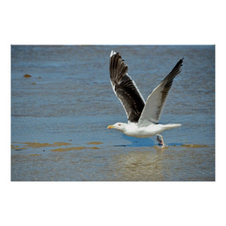 Closeup Great Black-backed Gull in flight Poster