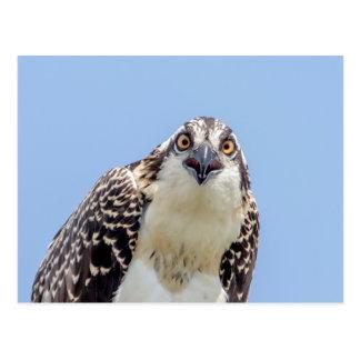 Closeup of a Juvenile Osprey Postcard