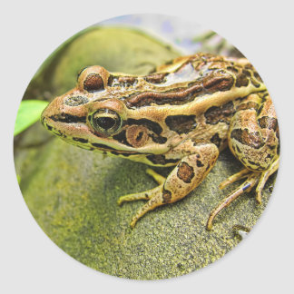 Closeup of a Pickerel Frog Classic Round Sticker