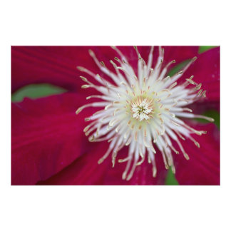 Closeup of a red-violet Clematis flower Photo