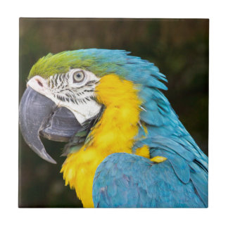 Closeup of blue-and-yellow macaw tile