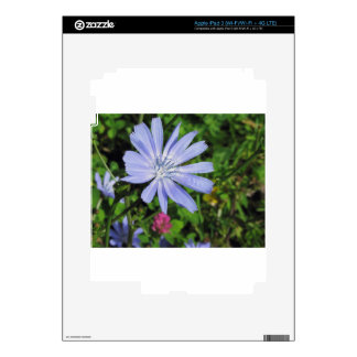 Closeup of blue Chicory flower on a background of Decal For iPad 3