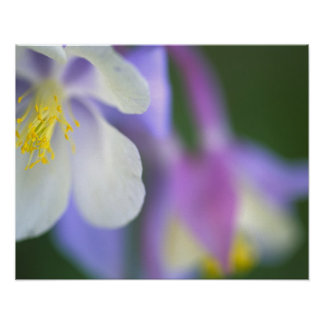 Closeup of Colorado Columbine flower Poster