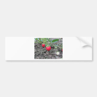 Closeup of fresh organic strawberries in the garde bumper sticker