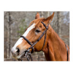 Closeup Of Horse With A Bridle Postcards