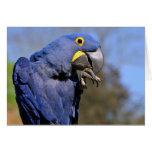 Closeup of Hyacinth macaw Cards