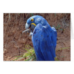 Closeup of Hyacinth macaw Greeting Card