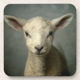 Closeup of new born lamb with grey background. beverage coaster