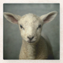 Closeup of new born lamb with grey background. glass coaster