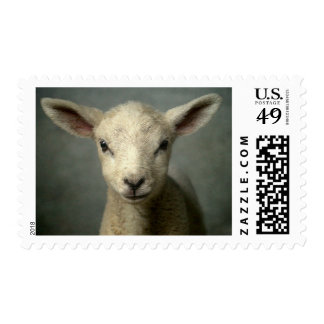 Closeup of new born lamb with grey background. postage