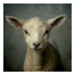 Closeup of new born lamb with grey background. print