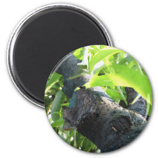 Closeup of peach tree excretion of gummy resin 2 inch round magnet
