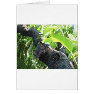 Closeup of peach tree excretion of gummy resin card