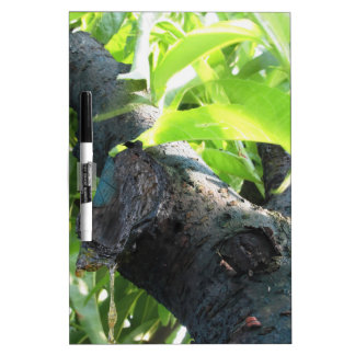 Closeup of peach tree excretion of gummy resin dry erase board
