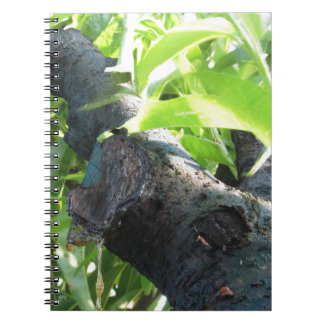 Closeup of peach tree excretion of gummy resin notebook