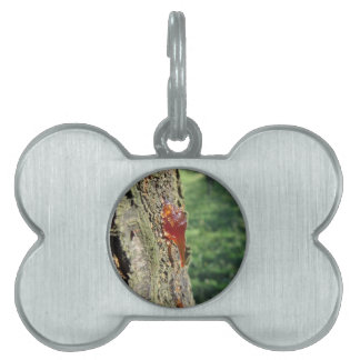 Closeup of pear tree excretion of gummy resin pet ID tag
