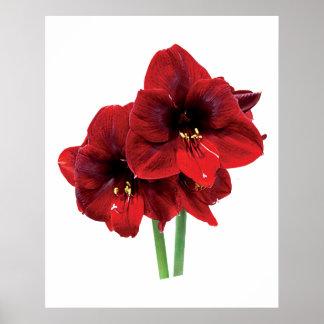 Closeup of Red Amaryllis Poster